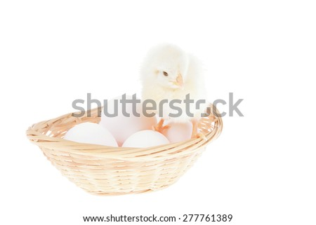 cute live little baby chicken inside wicked basket isolated on white background on white eggs - stock photo