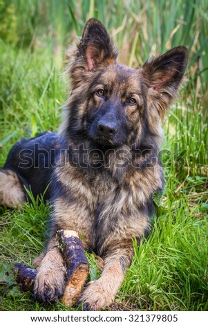 Cute long haired Alsatian dog looking at the camera laid on grass with a stick between his paws.  Taken in vertical format - stock photo
