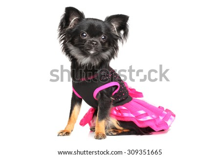 Cute long-haired Chihuahua puppy in fashionable dog dress on white background - stock photo