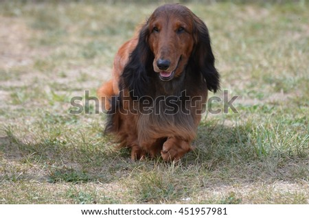Cute long haired dachshund dog in a field. - stock photo