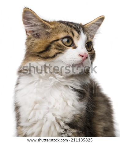 cute long haired maine cat - stock photo