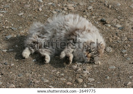 Cute longhaired cat rolling in dirt - stock photo