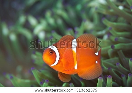 Cute looking curious  little orange spine cheek Anemonefish (Clownfish) in anemone on a coral reef off a volcanic beach in Tulamben Bay, Bali, Indonesia looking at camera