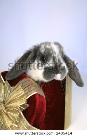Cute lop earred bunny in red gift box - stock photo