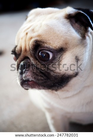 cute lovely sad and lonely white fat pug dog head shot close up standing still on gray concrete garage floor background head shot close up with moody color tone background - stock photo