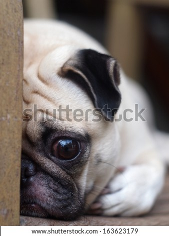 cute lovely white fat pug dog head shot close up laying flat on a wooden chair hiding his face open one big eye looking straight at the camera - stock photo