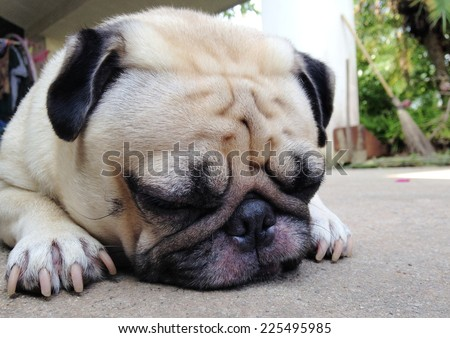 cute lovely white fat pug dog head shot close up laying flat on concrete garage floor close his big eyes sleeping under mild warm late afternoon sunlight  - stock photo