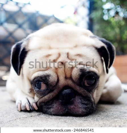 cute lovely white fat pug dog head shot close up lying flat on concrete garage floor open two big eyes looking straight at the camera with home surrounding  - stock photo