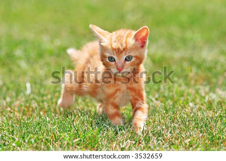 Cute Lovely Young Cat Running On Green Grass - stock photo