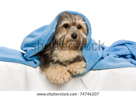 Cute lying tricolor Havanese dog in a bed. Isolated on a white background - stock photo