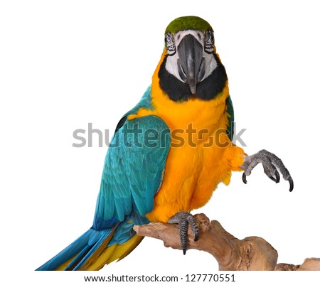Cute Macaw Isolated. Parrot. Isolated animals