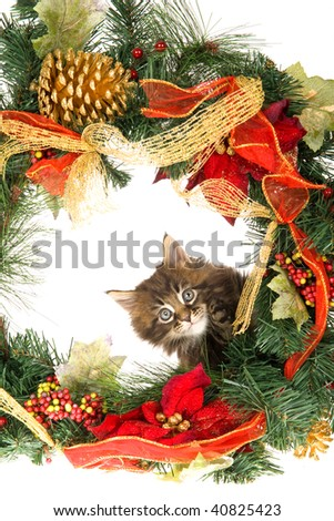 Cute Maine Coon kitten behind Christmas wreath on white background - stock photo