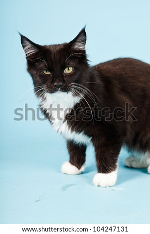 Cute maine coon kitten black and white isolated on light blue background. Studio shot.