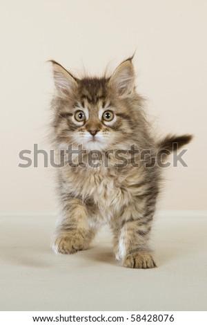 Cute Maine Coon kitten on beige background - stock photo
