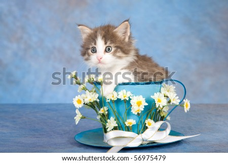 Cute Maine Coon kitten sitting inside large blue cup on blue background - stock photo