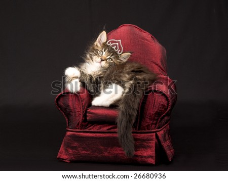 Cute Maine Coon kitten wearing diamante tiara crown sitting on miniature red chair on black background - stock photo