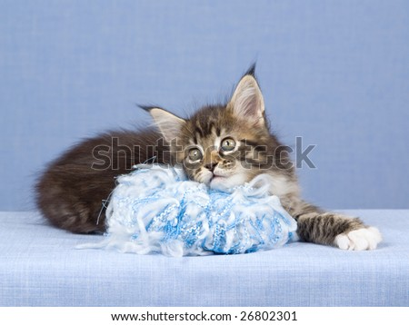 Cute Maine Coon kitten with ball of wool knitting on blue background