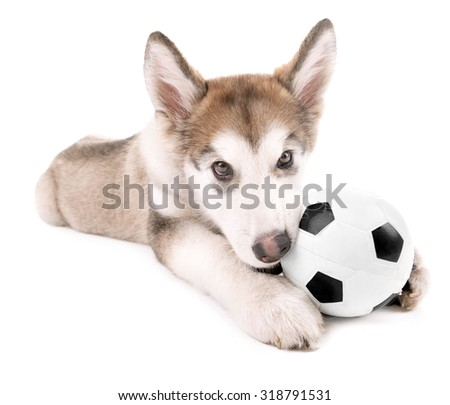 Cute Malamute puppy playing with ball isolated on white - stock photo