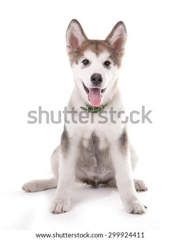 Cute Malamute puppy sitting isolated on white