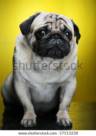 Cute Male Pug on yellow background - stock photo