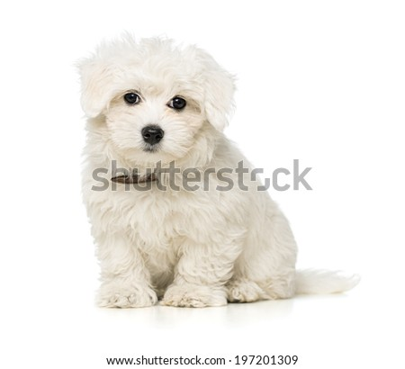 Cute maltese puppy isolated on white background