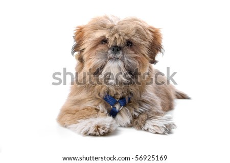 cute maltese puppy lying on floor, isolated on a white background - stock photo