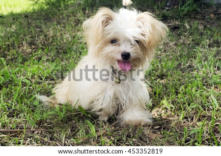 cute maltese puppy sitting in the garden.