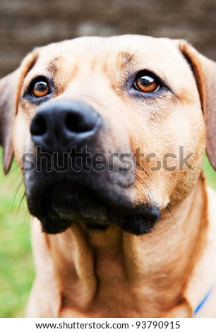 Cute Mastiff Mix Playing on Backyard - stock photo