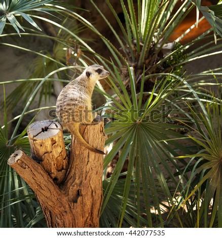 Cute meerkat sitting at tree watching enemies - stock photo