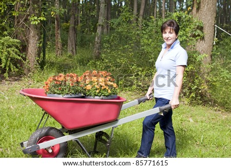 cute middle age senior woman suburban housewife gardening planting chrysanthemums mums in wheel barrow in backyard