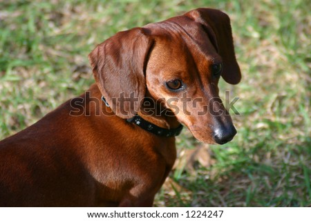 Cute Miniature Dachshund dog close-up with blurred background - stock photo