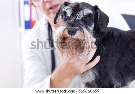 Cute miniature schnauzer looking at camera at veterinary examination - stock photo