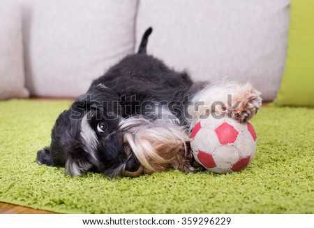 Cute Miniature Schnauzer lying on green carpet with ball and inviting to play - stock photo