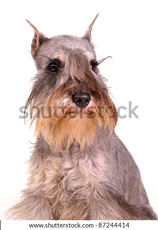 Cute miniature schnauzer portrait, studio shot - stock photo