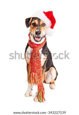 Cute mixed Beagle and Shepherd mixed breed dog wearing Christmas Santa Claus hat and winter scarf with happy expression