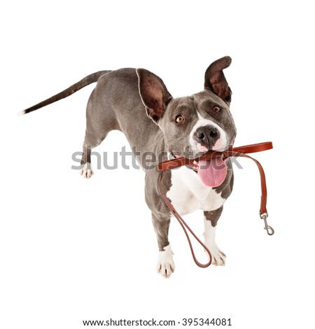 Cute mixed breed dog holding leash in mouth hoping for a walk - stock photo