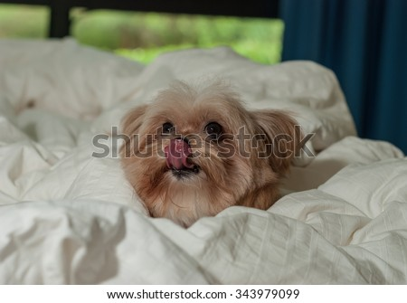 cute mixed breed dog licking nose in bed - stock photo