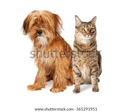 Cute mixed breed dog with long shaggy hair sitting next to a pretty tabby cat. Isolated on white. - stock photo