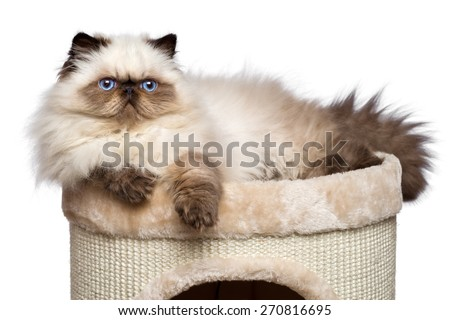 Cute 3 month old persian seal colourpoint kitten is lying on top of a cat tower, isolated on white background - stock photo