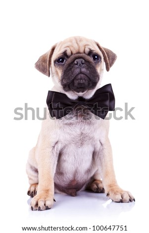 cute mops puppy dog with neck bow sitting and looking at the camera on white background - stock photo