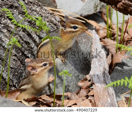 Cute mother chipmunk and her little baby out exploring together