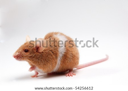 cute mouse  on white - stock photo