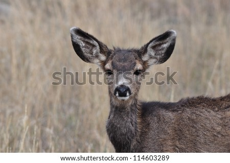 Cute Mule Deer Fawn in Field - stock photo