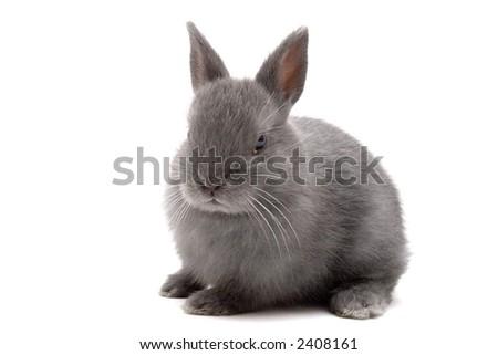 Cute Netherland Dwarf bunny on white background - stock photo