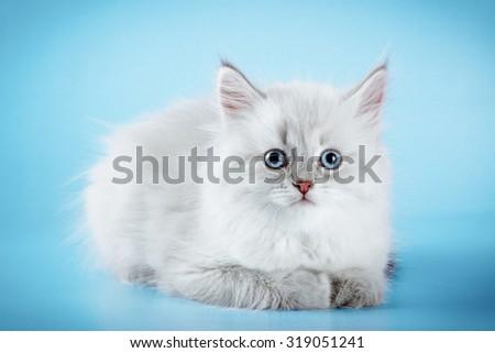 Cute neva masquerade kitten on blue background. - stock photo