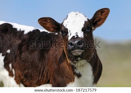 Cute newborn calf - stock photo