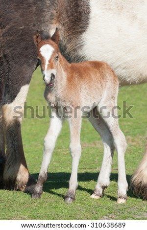 cute newborn foal with its tongue out - stock photo