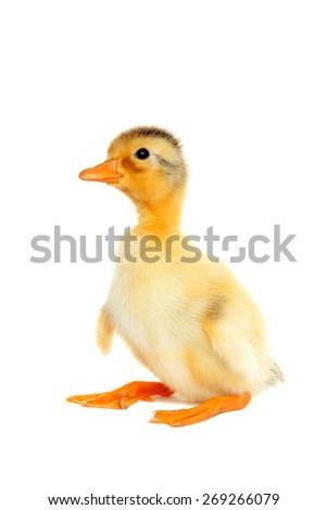 Cute newborn funny duck - stock photo
