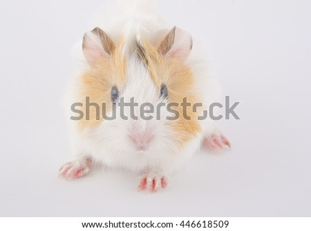 Cute newborn guinea pig baby (on a white background), selective focus on the guinea pig head - stock photo