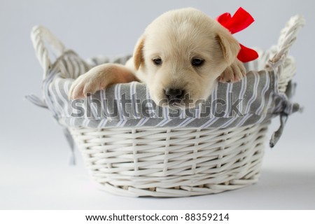 Cute newborn  labrador puppy in basket - stock photo